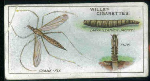 crane-fly-larva-and-pupa-1914-wills-cigarettes-garden-life-29-good-light-crease