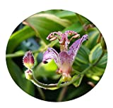TOAD LILY Variegated Live Tropical Plant Shade Garden Tricyrtis Samurai Ground Cover Tiny Purple Flowers Starter Size 4 Inch Pot Emeralds TM
