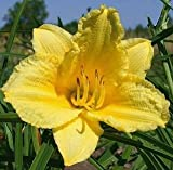 25 Bareroot Happy Returns Daylilies-2-3 fan Tennessee Grown