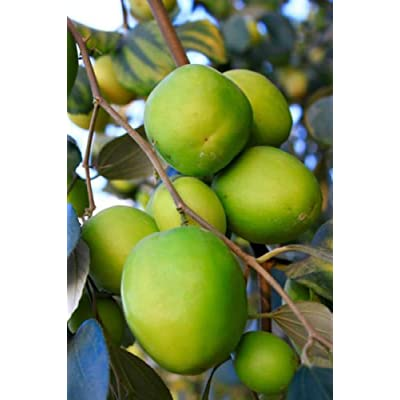 10 JUJUBE CHINESE DATE ZIZIPHUS JUJUBE TREE SEED NATIVE THAI FRUIT EDIBLE FRESH : Garden & Outdoor