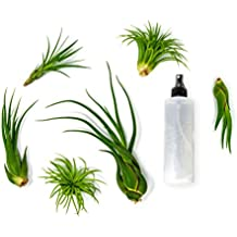 6 Air Plant Variety Pack - Large Tillandsia Terrarium Kit with Spray Bottle Mister for Water/Fertilizer - Assorted Species of Live Tillandsias, 4 to 10 Inches Indoor House Plants by Aquatic Arts