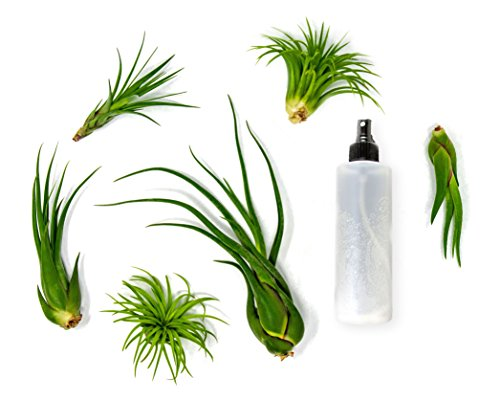 6 Air Plant Terrarium Kit - Large Tillandsia Variety Pack with Spray Bottle Mister for Water or Fertilizer- Assorted Species of Live Tillandsias - Indoor House Plants by Aquatic Arts by Plants for Pets