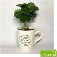 Coffea arabica (Pianta del Caffè) + tazza [Vaso Ø7cm | H. 15 cm.]