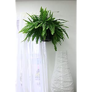 Costa Farms WaterWick Self-Watering Heart Design Planter w/ Premium Exotic Angel Live Indoor Love Fern Plant 2