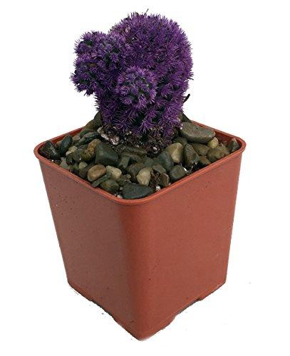 amethyst-purple-living-desert-gem-cactus-2-pot