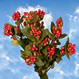 Send Cherry Hypericum Flowers | Hypericum Cherry 120 Flowers