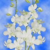 #1: GlobalRose 20 White Orchids- Beautiful Dendrobium Orchid Flowers