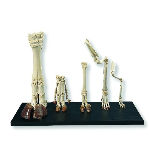 3B Scientific T30024 Mammal Feet Model, 17.3'' Length x 28.3'' Width x 23.6'' Height by 3B Scientific