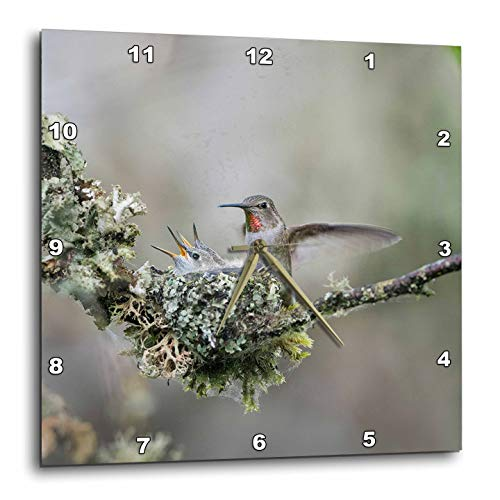 3dRose Danita Delimont - Hummingbirds - Adult Female Annas Hummingbird Lands at Cup nest with Two Chicks. - 10x10 Wall Clock (DPP_315137_1)
