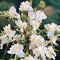 (3 gallon) Fragrant Winter Honeysuckle - Extremely Fragrant white flowers in Spring (Lemony)