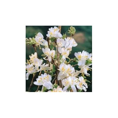 (3 Gallon) Fragrant Winter Honeysuckle - Extremely Fragrant White Flowers in Spring (Lemony) : Garden & Outdoor