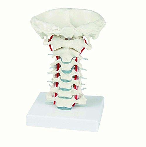 【良好品】 頸椎モデル 4073 松吉医科器械 24-5090-00 頸椎モデル B0769YK7PX 4073 B0769YK7PX, 功晶窯:53da5b62 --- a0267596.xsph.ru