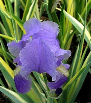 (Golden Zebra Iris Plant - Iris p. Aureovariegata - Blue Flower - 4