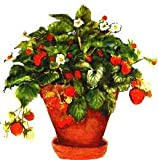 ORGANIC FRIENDSHIP MINI GARDENS ALPINE STRAWBERRY