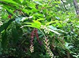 Pokeweed Medicinal 5 seeds