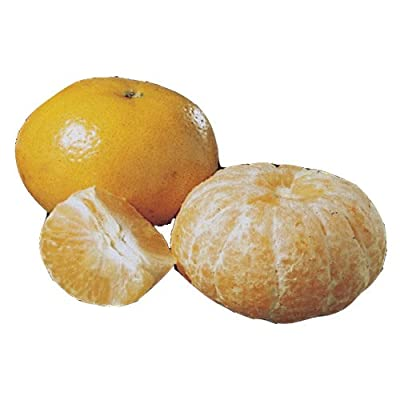 Flowering Tangerine Citrus Bonsai Tree - Seedless (kishu mandarin) : Grocery & Gourmet Food