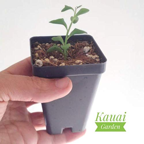 Dolphin Plant - Senecio Peregrinus - Extremely Rare - Live Plant Rooted in 2.5X 3.5 inch Pot - Dolphin Necklace
