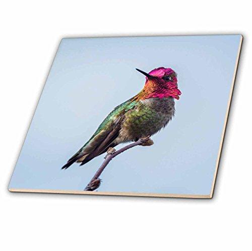 3dRose Danita Delimont - Hummingbirds - USA. Washington. Annas Hummingbird flashes his iridescent gorget. - 12 Inch Ceramic Tile (ct_279655_4)