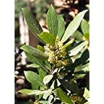Bay Laurel Herb 5 Seeds - Laurus nobilis