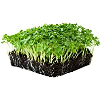 Kale Garden Seeds - Vates Blue Scotch Curled - 1 Lb - Non-GMO, Heirloom- Vegetable Gardening & Microgreens