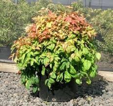 Firepower ( Dwarf ) Nandina Heavenly Bamboo - Live Plant - Quart Pot