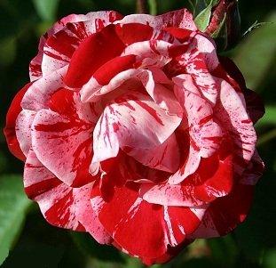 Peppermint Swirl Rose Bush Flower Seeds