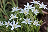 White Star of Bethlehem Flower Spring Blubs Rare Perennial