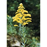 Tall Goldenrod (Solidago altissima), 380 Certified Pure Live Seed, True Native Seed