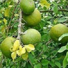 plantsguru Bel Patra Aegle Marmelos, (Multicolour) Fruit & Fruit Trees at amazon