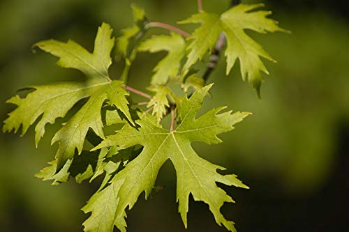 Silver Maple Seeds - 32 Seeds of ACER saccharinum, Silver Maple, Soft Maple, Water Maple