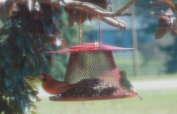 best cardinal bird feeder for attracting cardinals to your yard