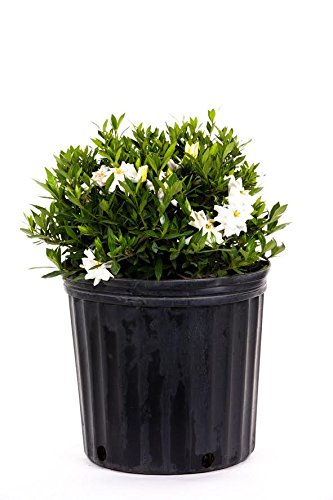AMERICAN PLANT EXCHANGE Dwarf Radicans Gardenia Live Plant, 3 Gallon, Double White Bloom