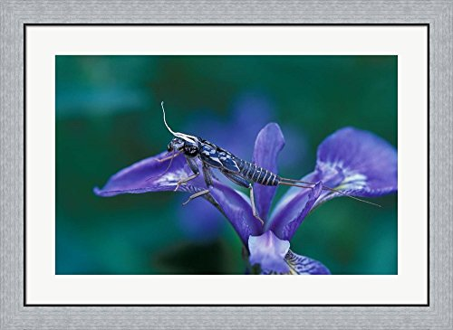 Blue Flag with Caddis Fly Exoskeleton, Androscoggin River, Errol, New Hampshire by Jerry & Marcy Monkman / Danita Delimont Framed Art Print Wall Picture, Flat Silver Frame, 35 x 26 inches (Caddis River)