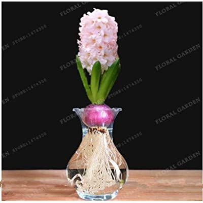 Kasuki 2020 New Hyacinthus Orientalis Bonsai Cheap Hyacinth Bonsai Hyacinth Potted Bonsai Balcony Flower Bonsai for Home Garden 50PCS - (Color: 6): Garden & Outdoor