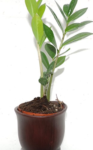 JM BAMBOO-wooden Color Ceramic Pot w/Rare Z Z Houseplant Golden Tree Zamioculcas 6-8 Inches Tall For Sale