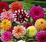 (5) Large Flowering Decorative Dahlia Mix Tubers, Root Starts, Bulbs, SeedsBulbsPlants&More