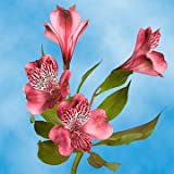 GlobalRose 120 Blooms of Pink Select Alstroemerias 30 Stems - Peruvian Lily Fresh Flowers for Delivery