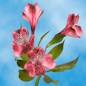 GlobalRose 120 Blooms of Pink Select Alstroemerias 30 Stems - Peruvian Lily Fresh Flowers for Delivery by GlobalRose