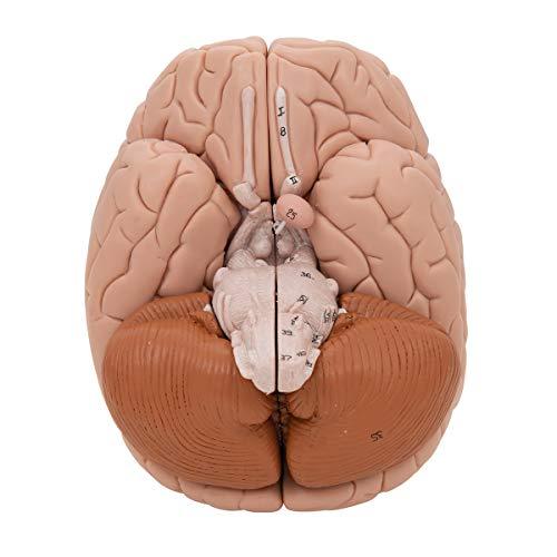 3B Scientific Deluxe 8-Part Brain by 3B Scientific (Image #7)