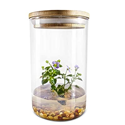 Live Flower Terrarium, Persian Violet (Exacum Affine), Self-Growing, Maintenance Free, Blooming All Season, Great for Work, Home, Unique Gift! : Garden & Outdoor