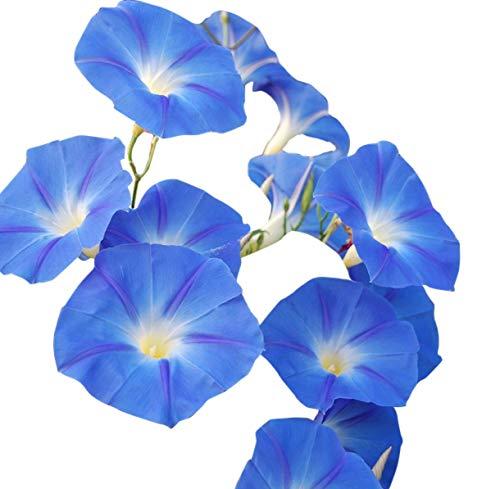 250 Heavenly Blue Morning Blooming Vine Seeds - Wonderful Climbing Heirloom Vine