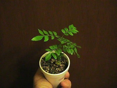 curry leaf plant 3-4 inches tall