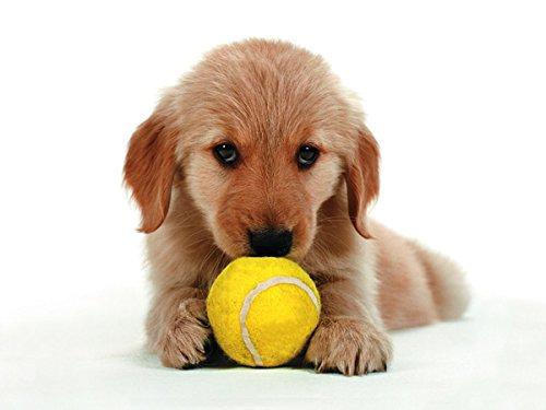 Nouvelles Images imagesaffiche 30 x 40 cm Cachorro de Golden ...