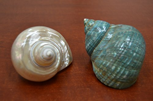 2 Pcs White and Green Jade Pearl Turbo Shell Hermit Crab 3 1/2
