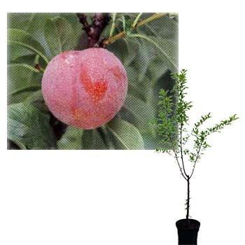 鉢植え果樹 スモモ(プラム):ハニーローザ8号鉢植え B07HCX2Q6W