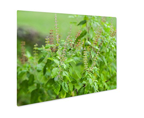 Ashley Giclee Metal Panel Print, Wild Ocimum Sanctum Flowers Aka Tulasi Thai Holy Basil, Wall Art Decor, Floating Frame, Ready to Hang 16x20, AG6553951 by Ashley Giclee