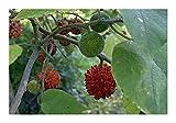 Broussonetia papyrifera - paper mulberry - 50 seeds