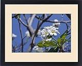Framed Print of Thailand, Bangkok. Ayuthaya. White frangipani flowering tree