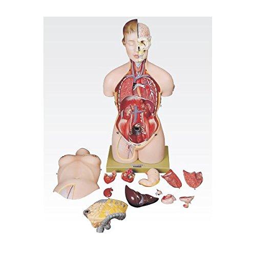 トルソ人体モデル/人体解剖模型 (13分解) J-113-0   B077JPF51C