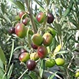 New and Healthy Olive Tree Manzanillo Olea Europaea Live plant